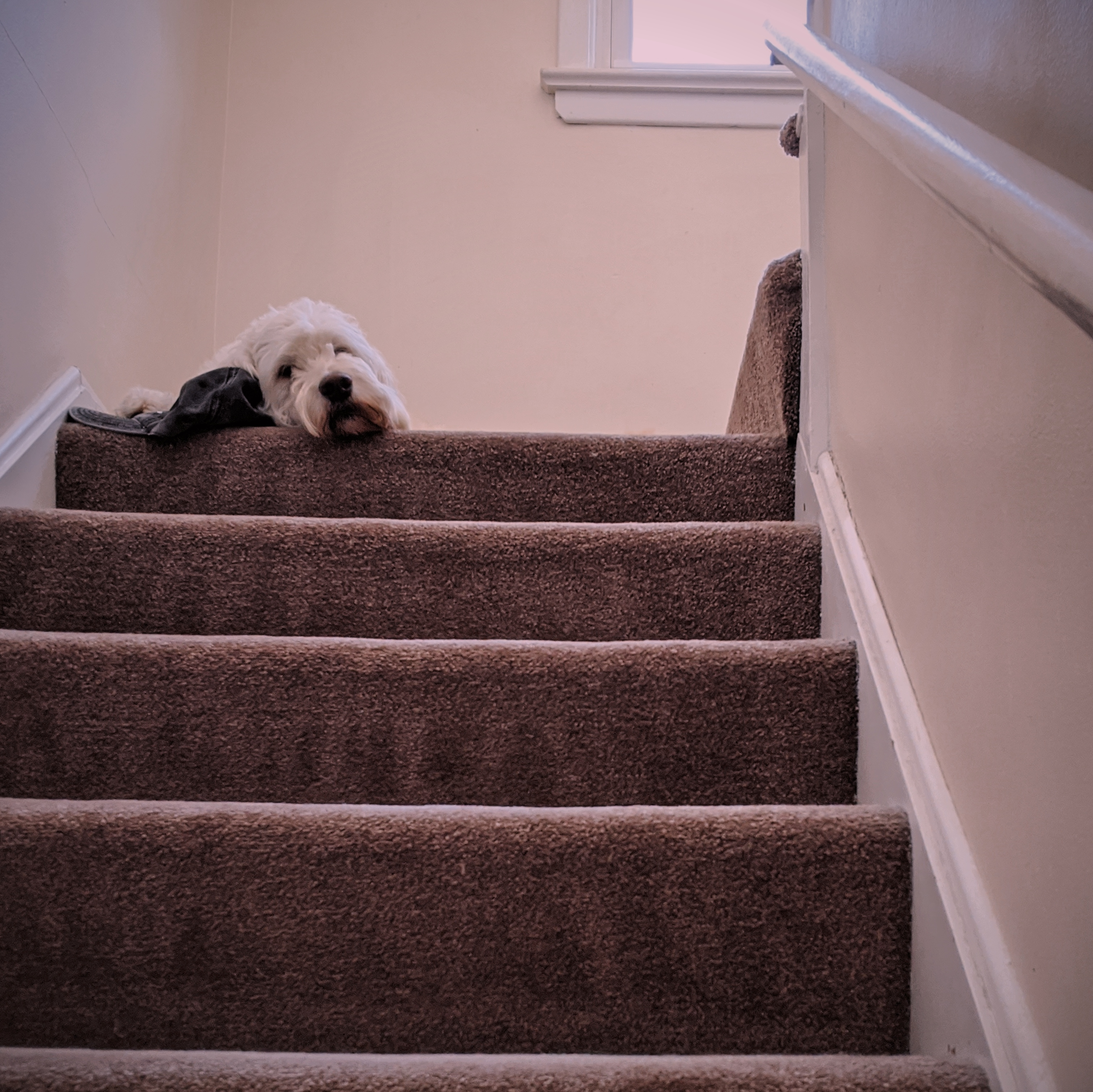 Dog looking down from top stair